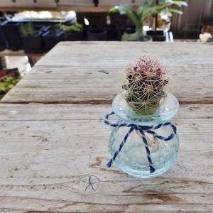 清涼感ある水耕栽培サボテンクラゲ